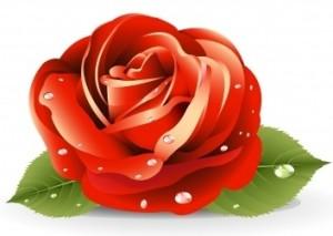 red-rose2
